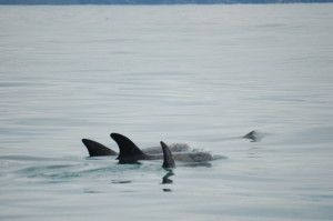Risso's Dolphins - Lindsay