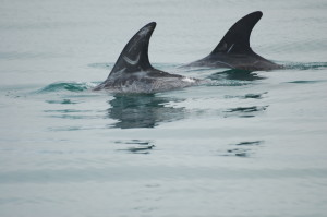 Risso Dolphins - Lindsay