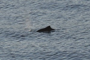 A porpoise at Whytecliff Park - Marcus W