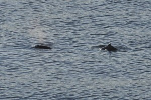 2 Porpoises at Whytecliff Park - Marcus W.