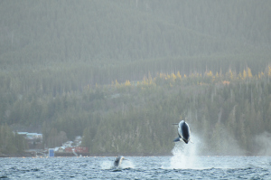 Brutal, Breath-Taking Beauty – An Interaction with Bigg's (Transient) Killer Whales – 4/12/10