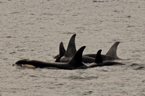 Resting Lines of Killer Whales – 24/8/10