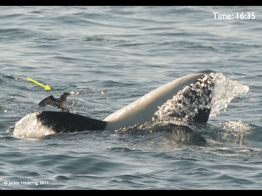 Fins Verses Feathers – Transient Killer Whales Harass Rhinoceros Auklets – 31/8/11