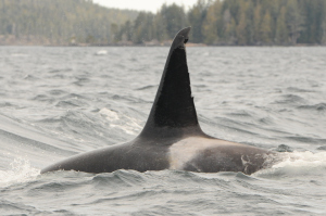 Mysterious Killer Whales Come Inshore – 30/3/11