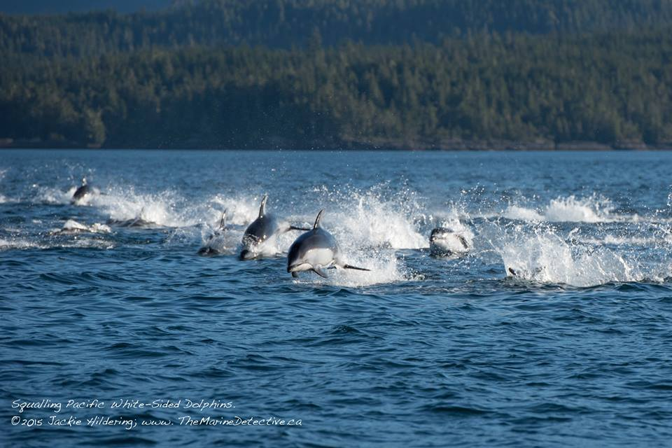 Squalling Pacific White-Sided Dolphins -26/9/15