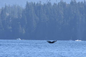 A Humpback shows his fluke! Photo credit: A. Caron