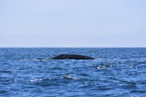 Grey Whale near Kia Beach Photo Credit: A. Caron