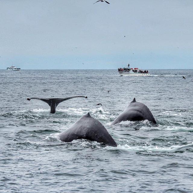 Three Humpbacks Diving Down to Feed! – 24/8/15