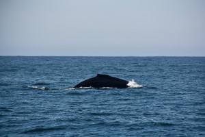 Humpback Whale near Cape Beale Photo Credit: B. Ramshaw