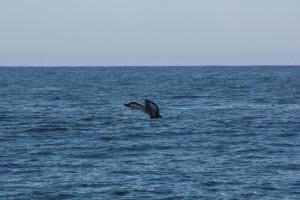 A Humpback flukes near Cape Beale Photo Credit: B. Ramshaw