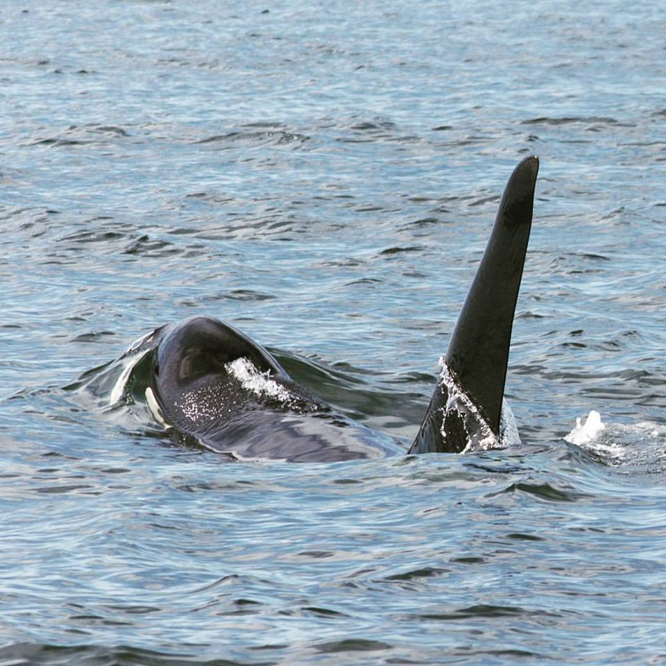 "A Lovely Encounter with K26 ""Lobo"" and K42 ""Kelp"" – 26/8/15"