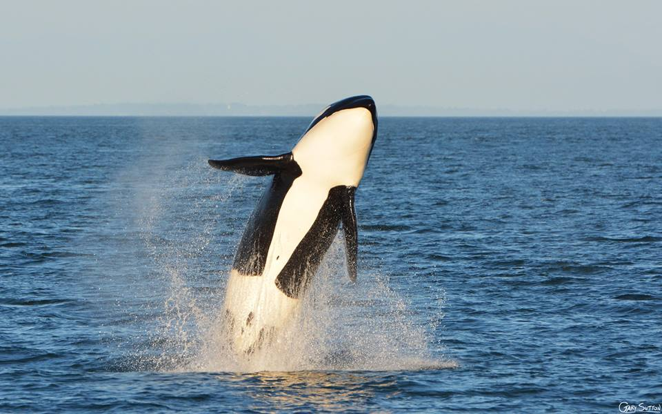 An Unbelievable Evening with Bigg's (Transient) Killer Whales! – 21/8/15