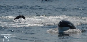 T65B circling sea lion