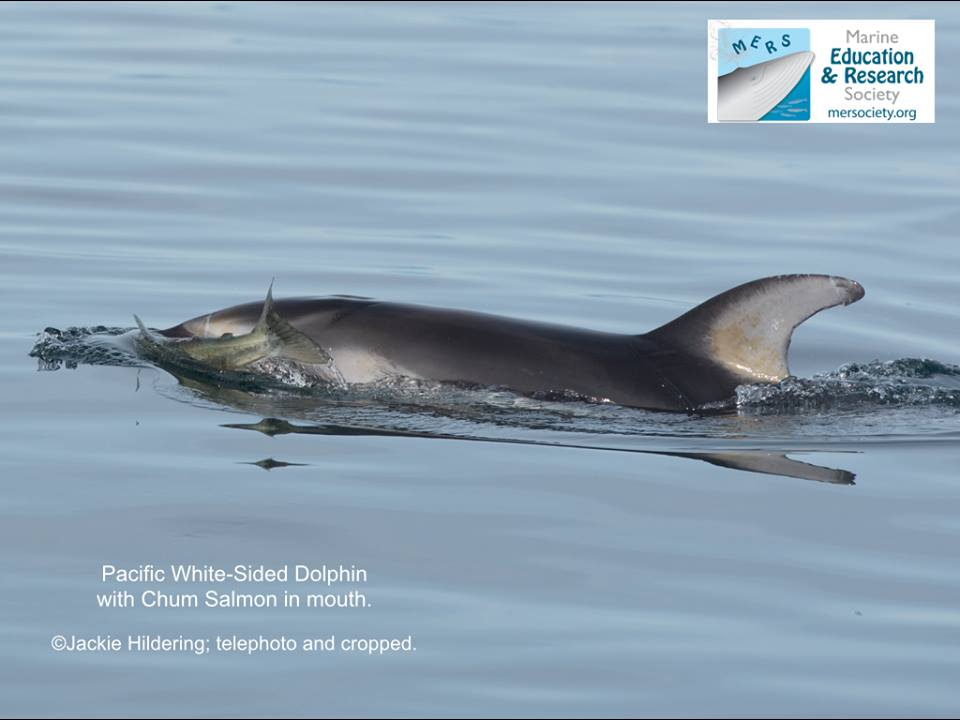 A Pacific White-Sided Dolphin with a Chum Salmon! – 5/10/15