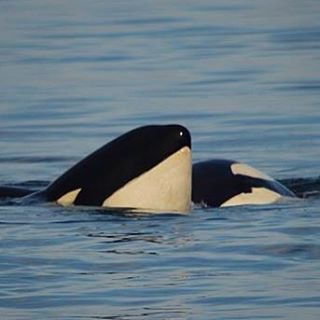An Incredible Day on the Water with 5 Families of Bigg's (Transient) Killer Whales! – 7/9/15