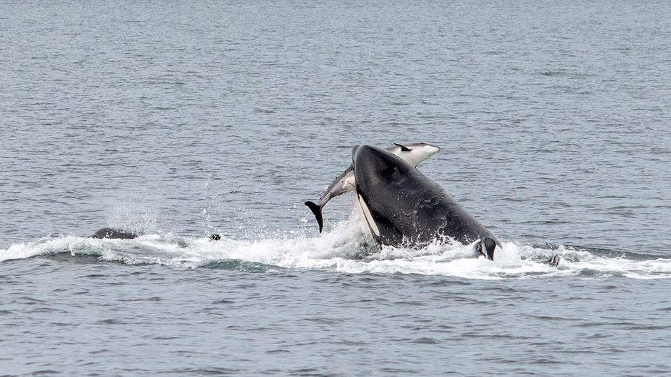 T36A with a Harbour Porpoise in her mouth! – 15/9/15