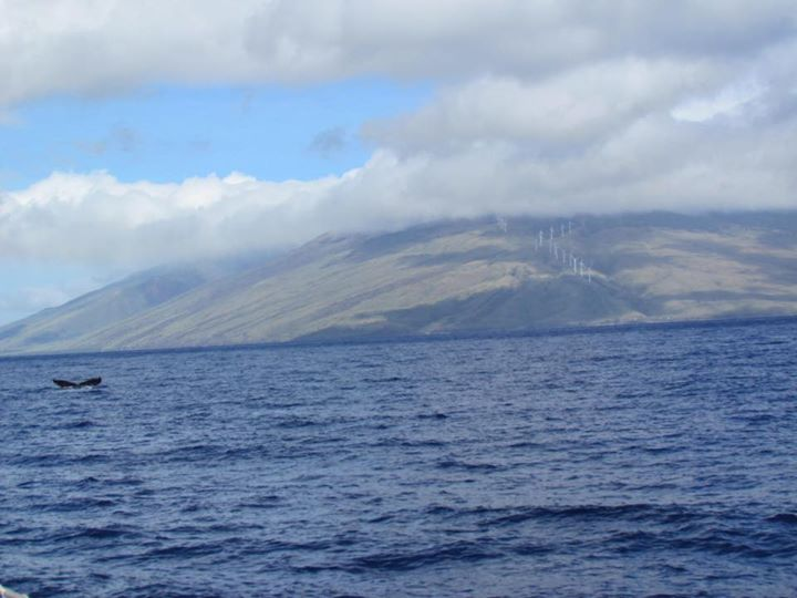 Two Humpback Whales off the coast of Lahaina – 27/11/15