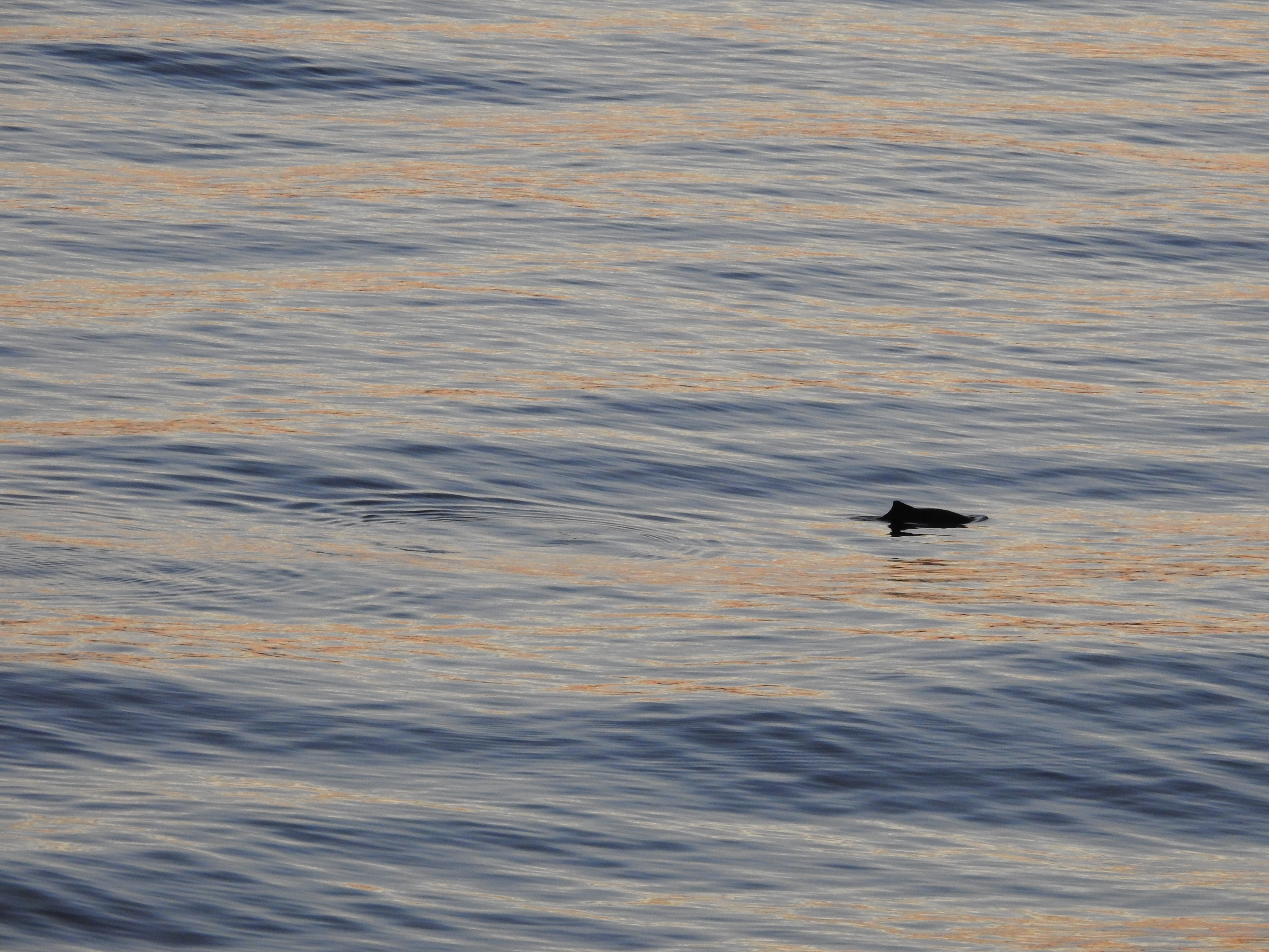 Christmas Day with Harbour Porpoises! – 25/12/15