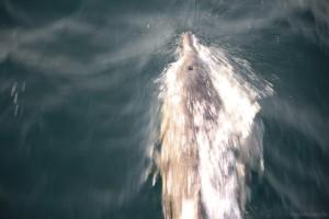 Dolphins-2w