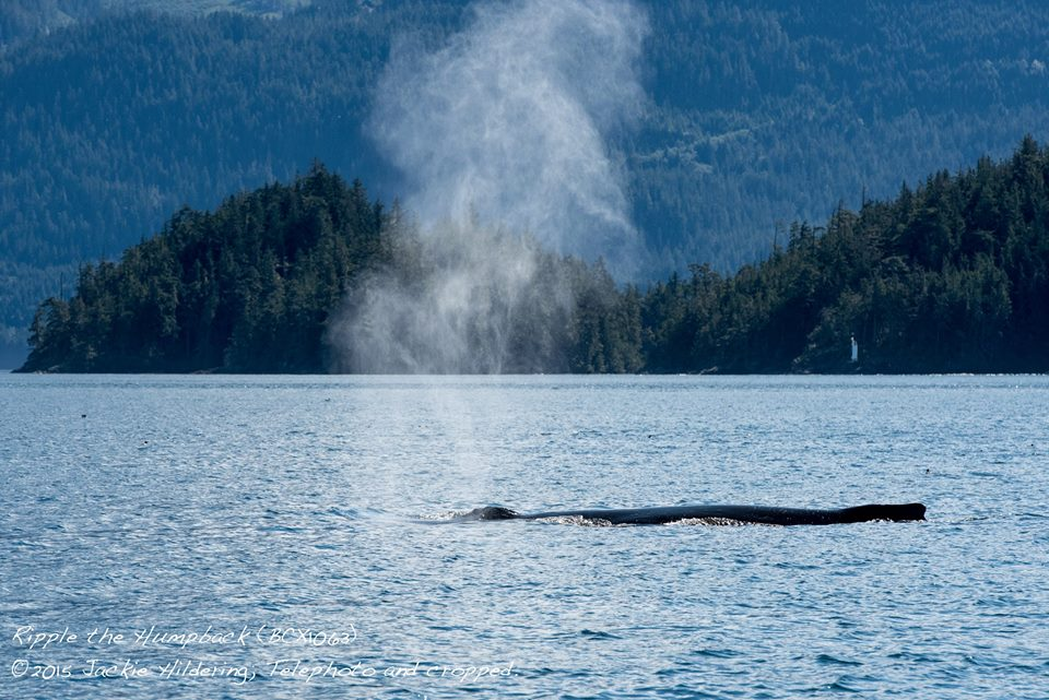 Northern Resident Killer Whales Kiss the Sky – 3/9/15