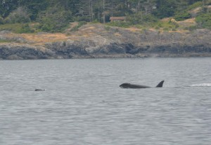 Harbour Porpoise fleeing as J35 Tahlequah chases it down