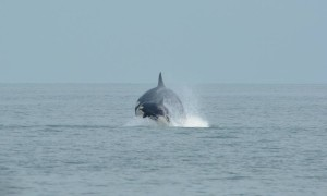 T137 and her calf taking to the air just as we were about to leave.