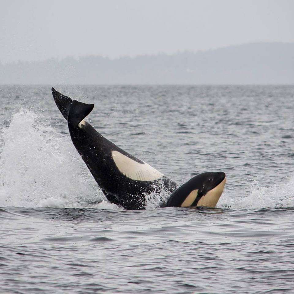 Super Playful Young Bigg's (Transient) Orcas! – 11/10/15