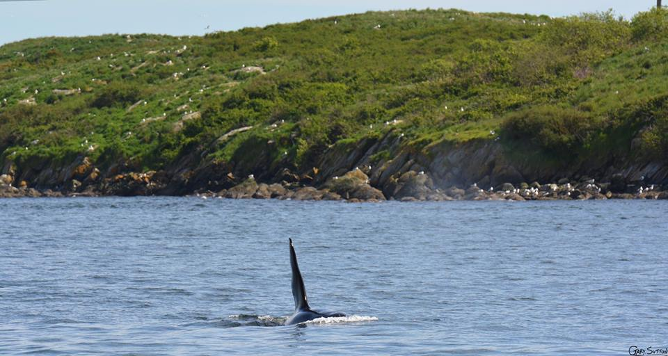 Double Header with Bigg's (Transient) Killer Whales and J Pod – 17/4/16