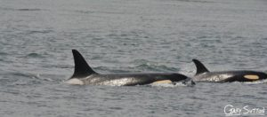 Nice to see two whales with such a HUGE generation gap. Here is J2 Granny at, approximately, 103 years old with J47 Notch who is 4 years old.
