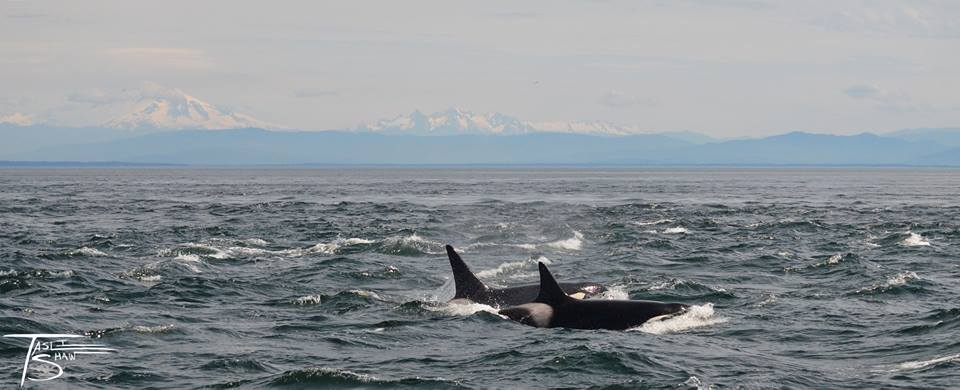 Another Mind Blowing Encounter with the Bigg's (Transient) Killer Whales – 3/5/16
