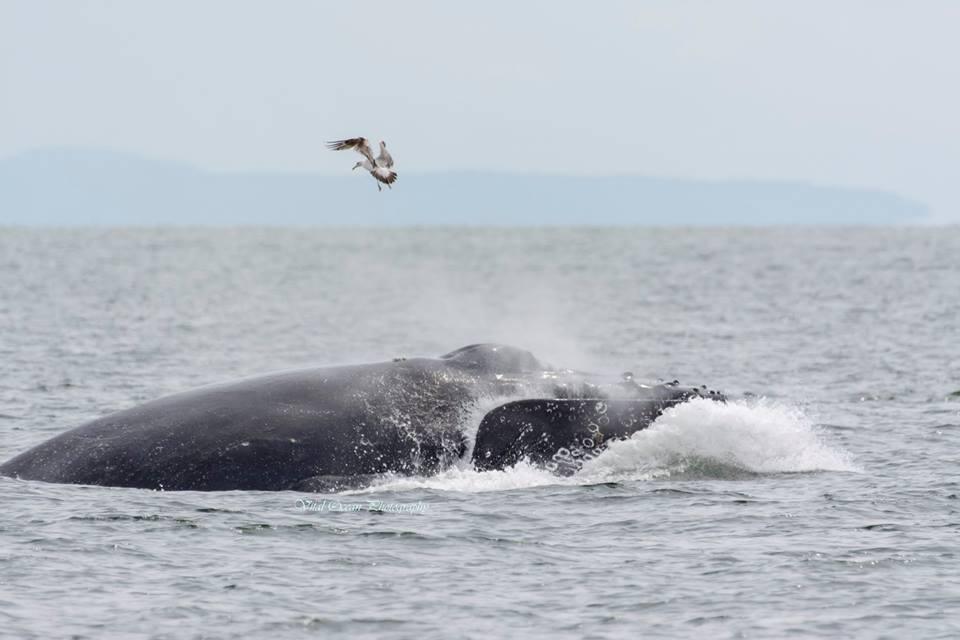 A Lunge Feeding Humpback Whale! – 28/5/16