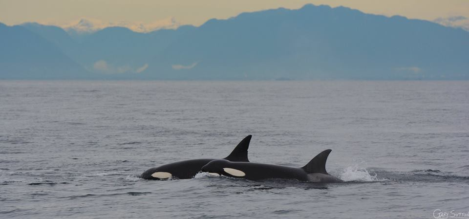 An Intense Day with Humpbacks and Bigg's (Transient) Killer Whales – 25/10/14