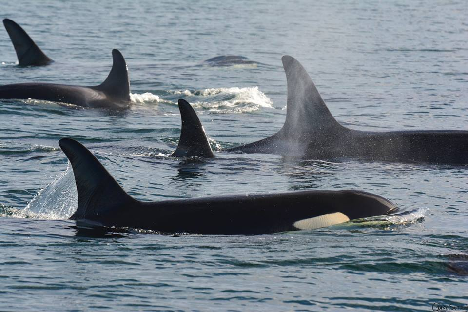 Huge Southern Resident Killer Whale Resting Group – 18/10/14