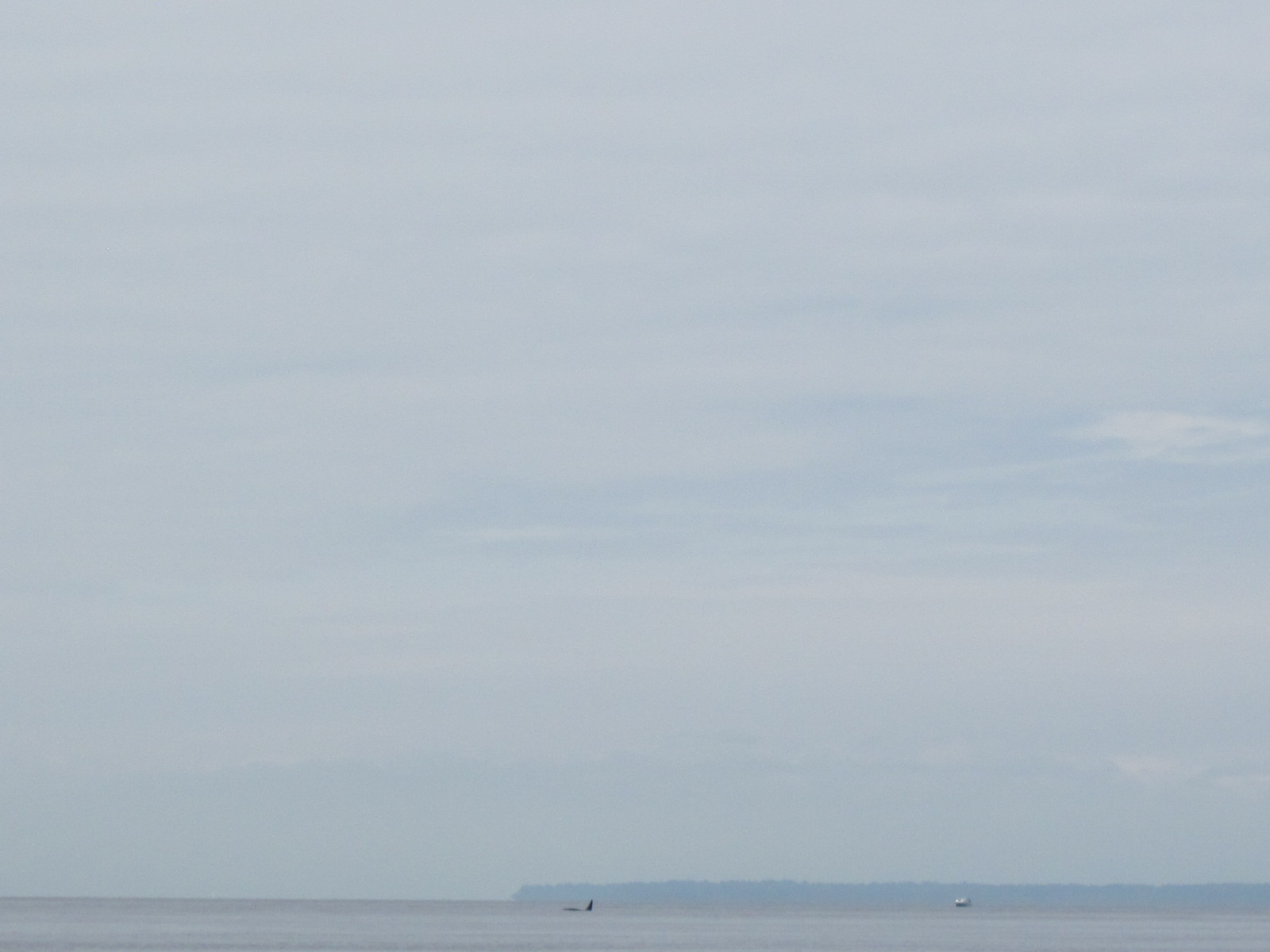 Another Orca Encounter from East Point! – 16/7/16