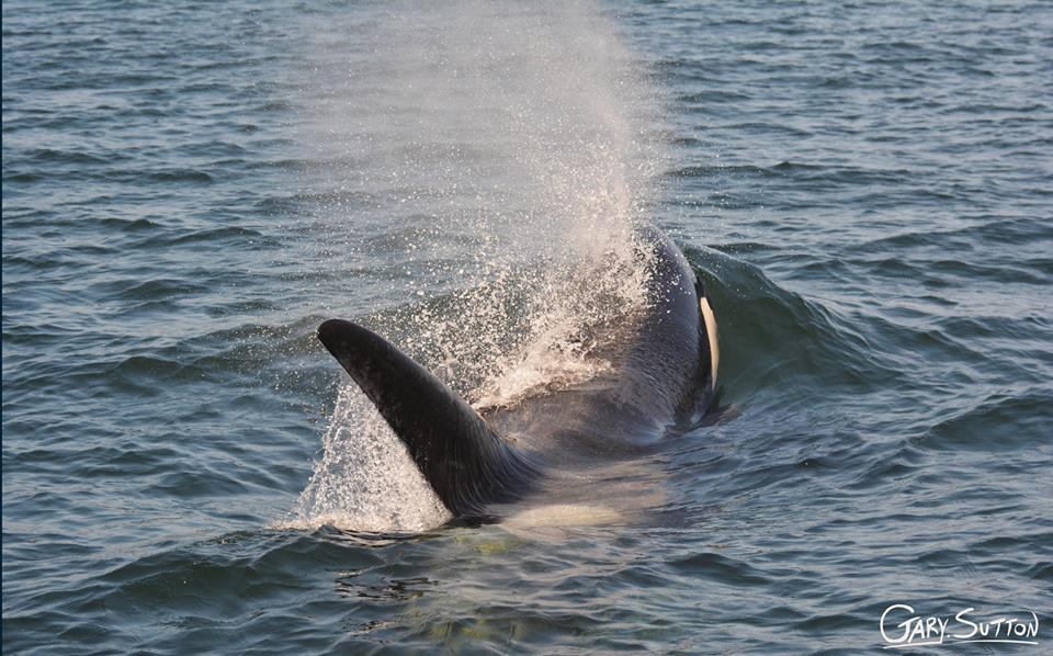 Residents, Bigg's (Transient) and Humpbacks All in One Day!- 3/6/14