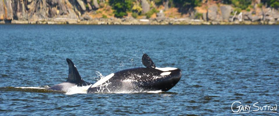 Bigg's (Transients) in Plumper Sound – 10/6/14