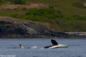 J Pod in False Bay – 11/6/14