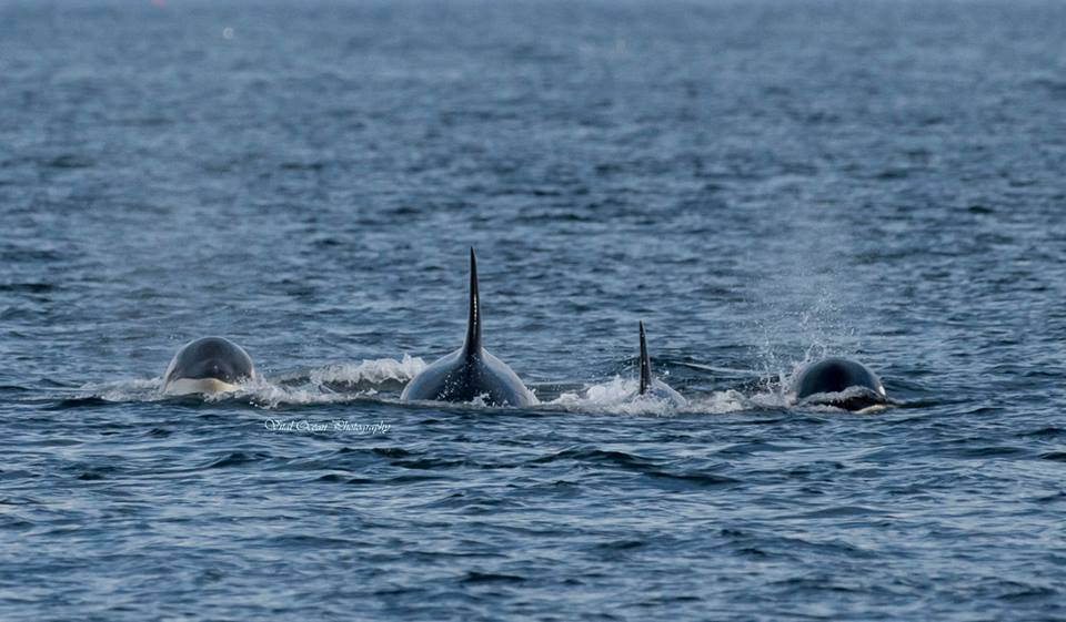 Epic Day with the T36A's and T65B's Steller Sea Lion Take Down!! – 3/10/16