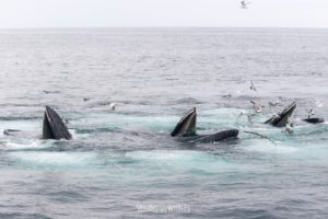three-humpbacks-surfacing-through-a-bubble-net