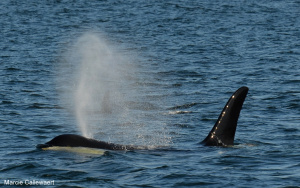 Triple Header – T137s, Humpbacks, and J Pod! – 3/6/13