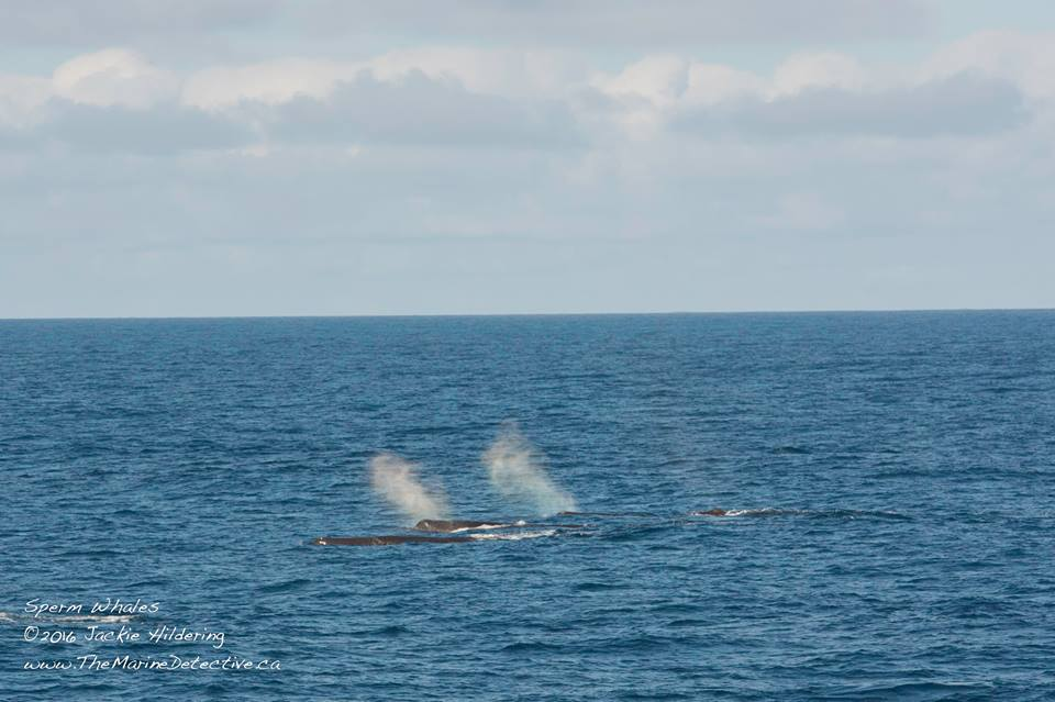 A Bachelor Group of Sperm Whales! – 23/7/16