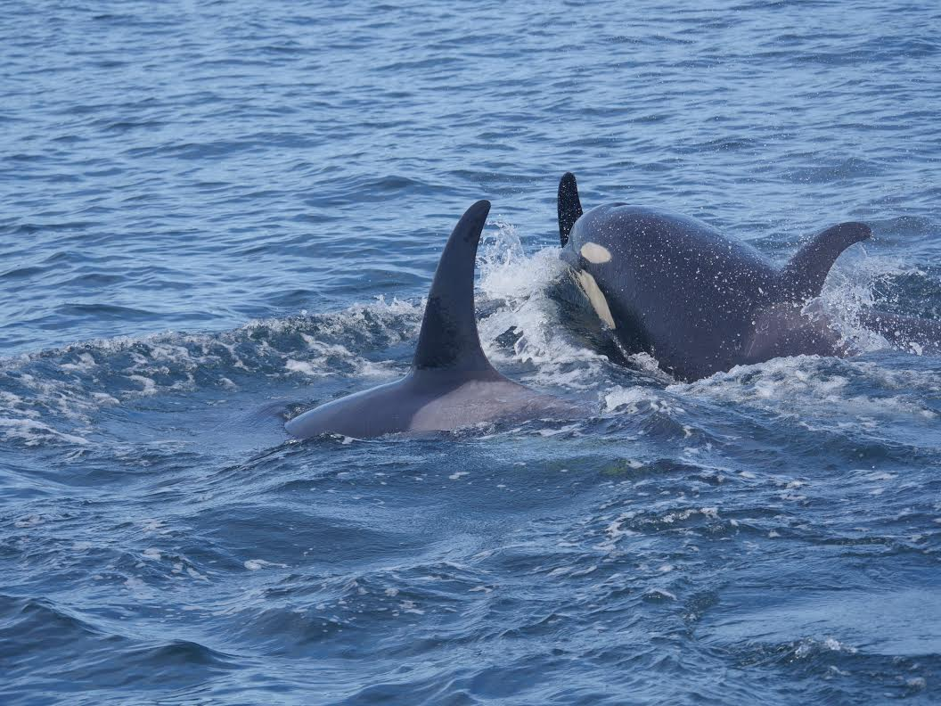 A Special Encounter with J Pod – 12/10/16