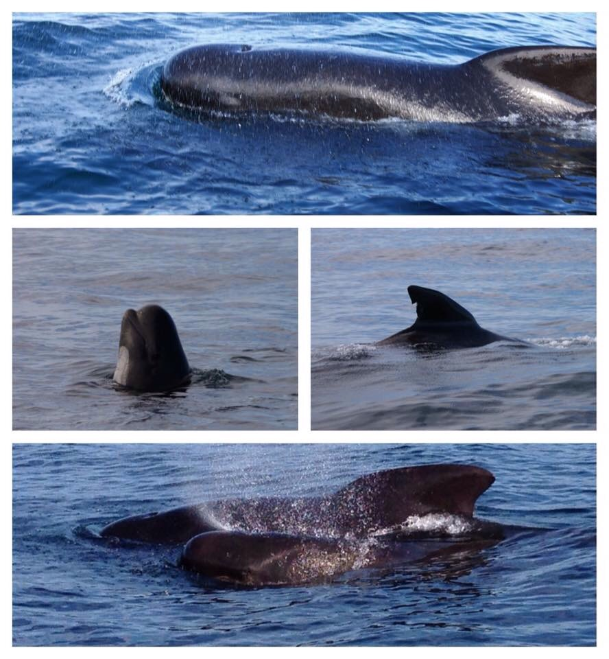 Fantastic Whale Watching with Long-finned Pilot Whales! – 13/7/16