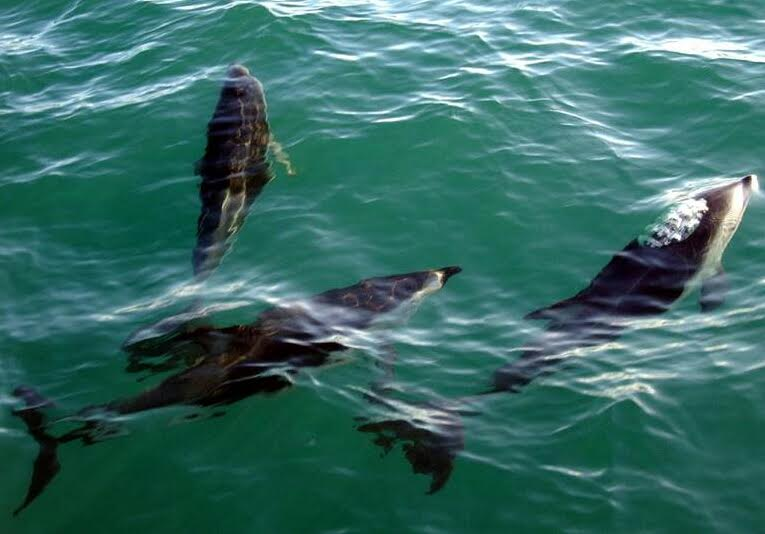 An Amazing Experience with Dusky Dolphins – 12/04