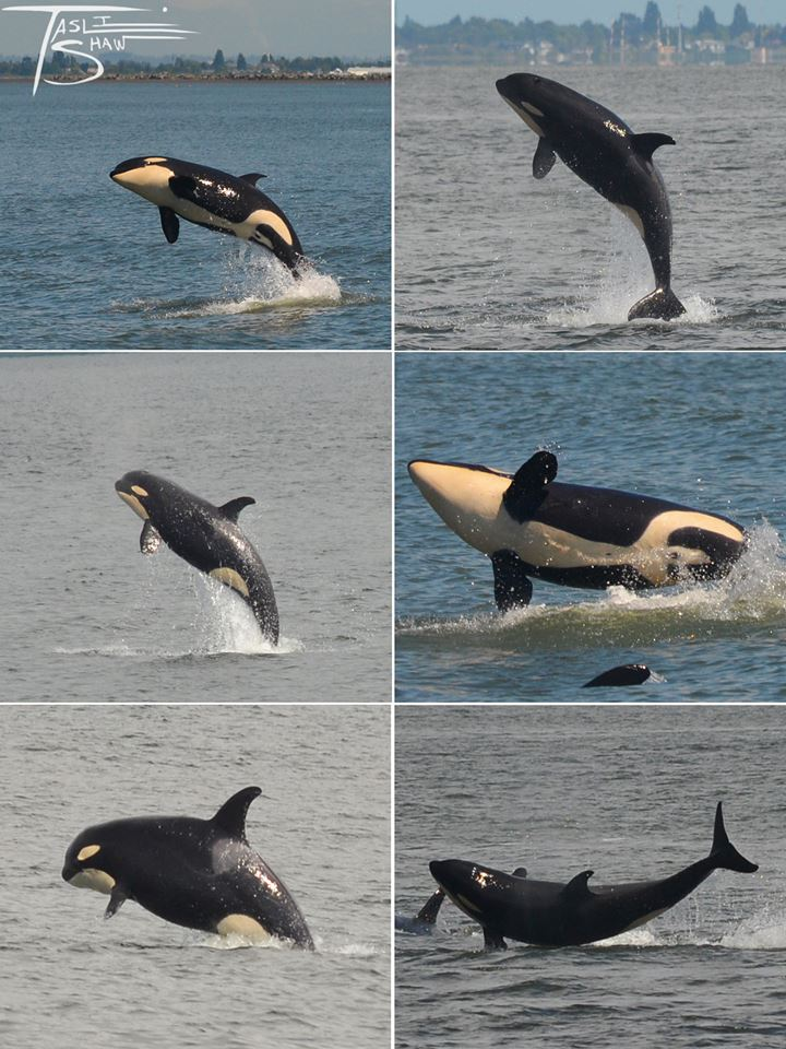 Another Great Encounter with J Pod – 5/7/16