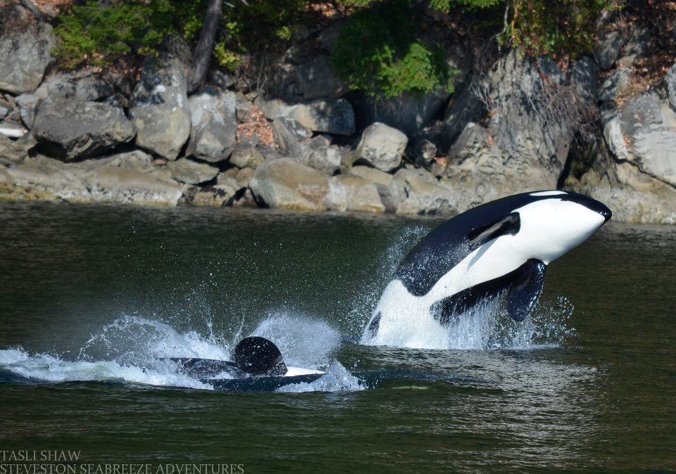 Mind Blowing Day with Bigg's (Transient) Killer Whales! – 20/8/12