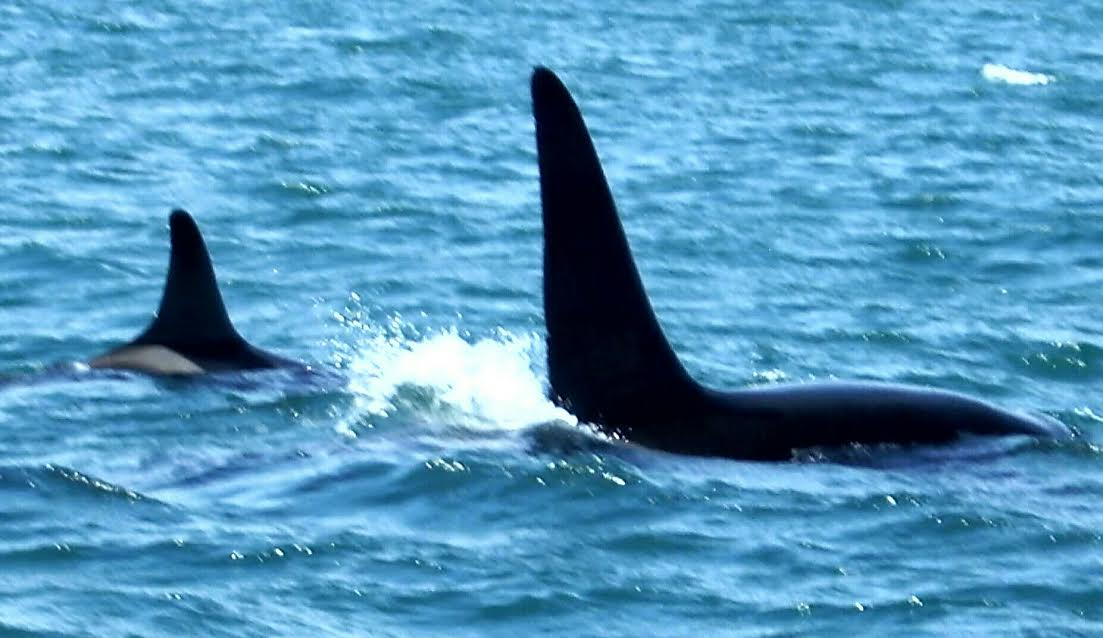 My First Encounter with Beautiful Orcas – 12/04