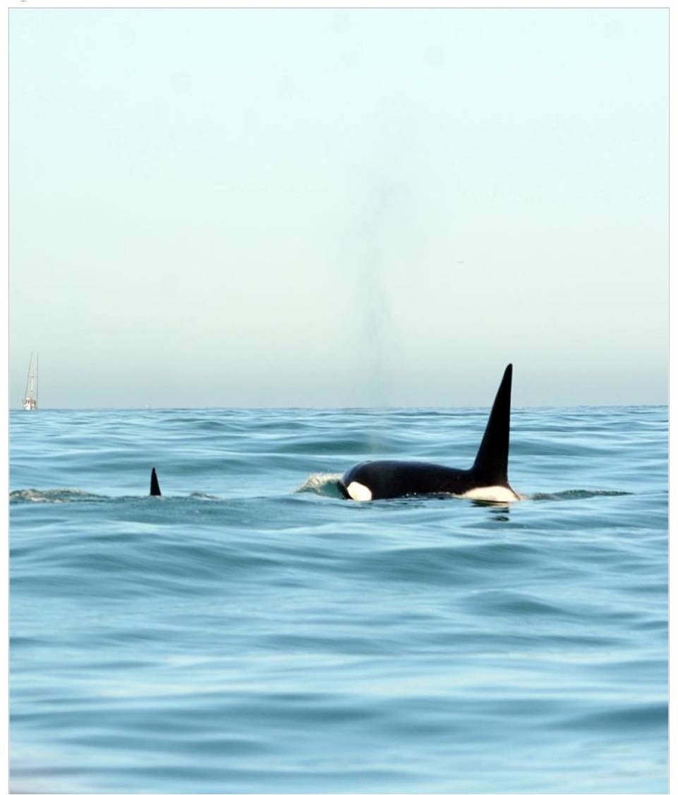 Two Orcas in Monterey – 4/16