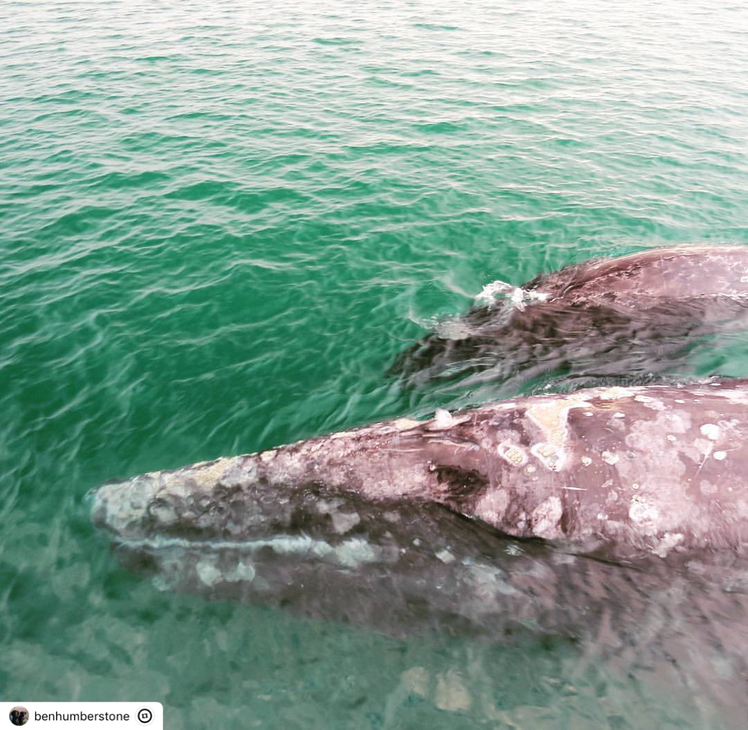 Grey Whale Mother and Calf! – 3/15