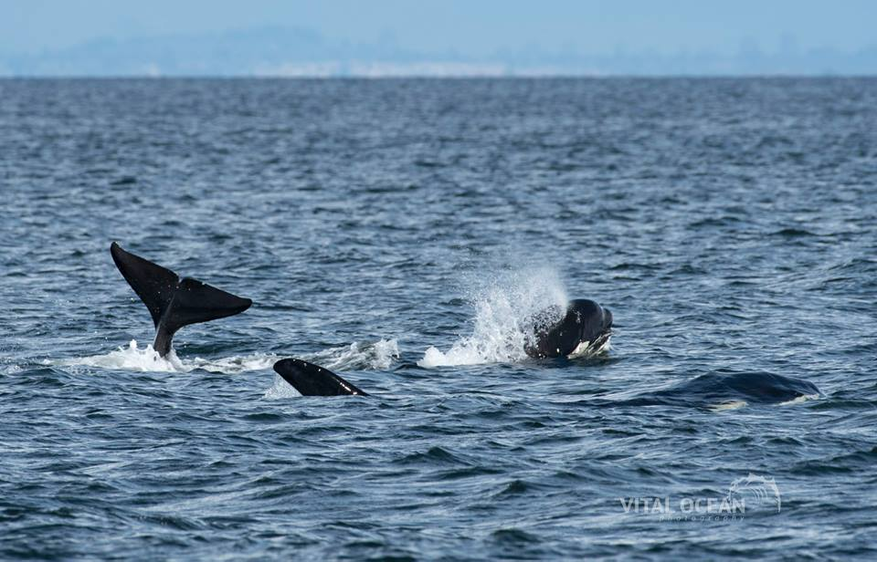 So Many Bigg's (Transient) Killer Whales! – 14/4/17